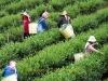tea-picking-doi-mae-salong-1