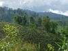 coffee-plantation-hin-taek