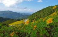 Bua Thong Sunflowers - Ban Mae U Khor