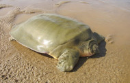 Cambodia - Nest Of Endangered Giant Softshell Turtle Found