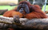 Thailand - Smuggled Orangutans to be returned.