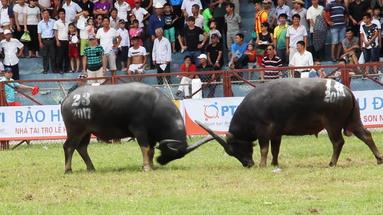Vietnam - Buffalo Fights. Tradition vs Civilisation.